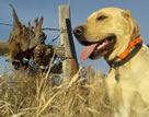 Dogs from Broken Sky Kennels will make excellent companions, hunting buddies or hunt/field test dogs.